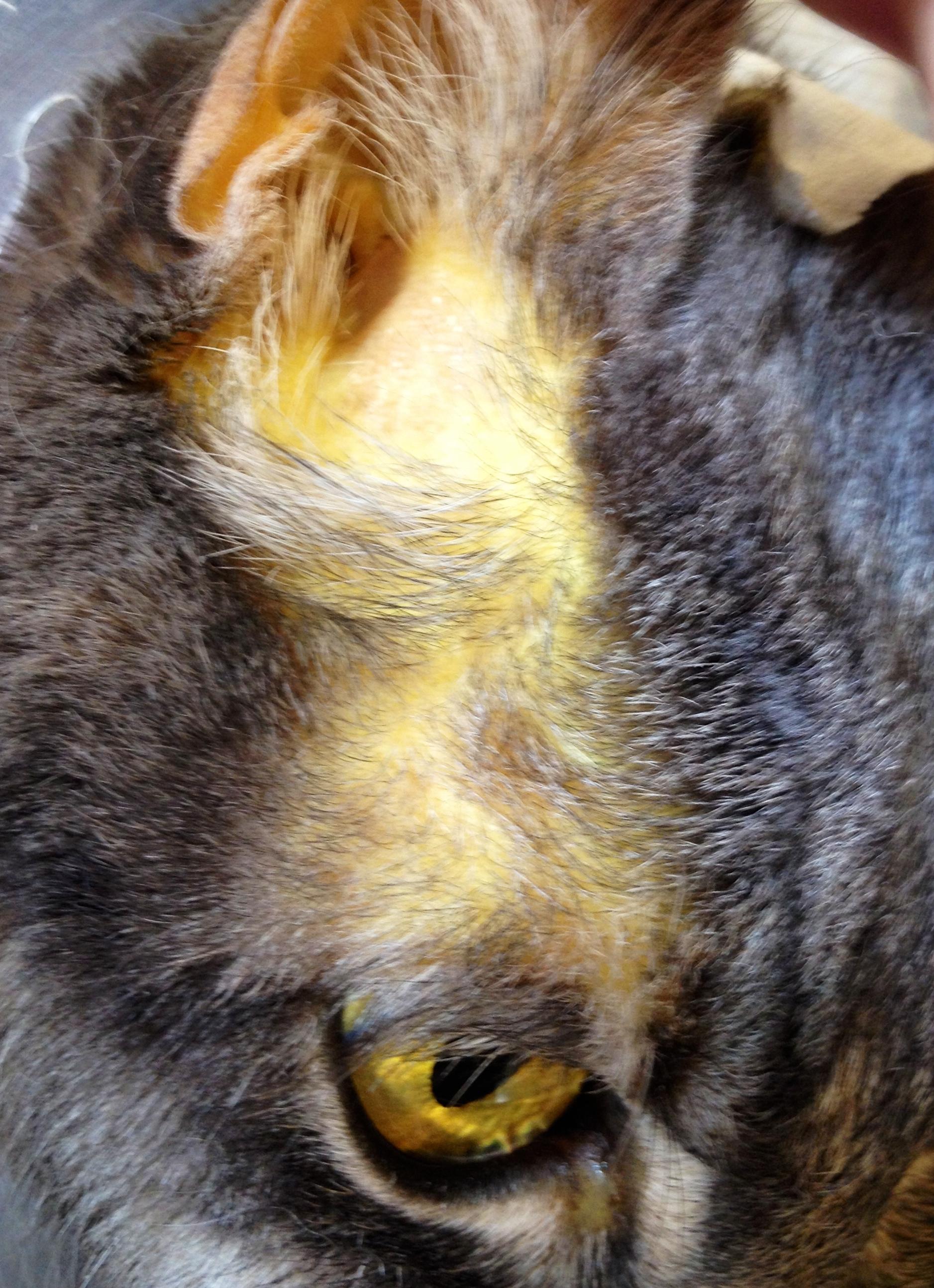 Cat Jaundice Eyes