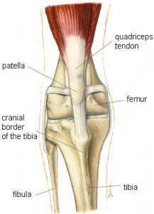 Cranial Cruciate Ligament