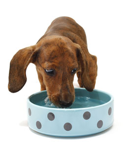Can My Dog Drink Water During Fasting