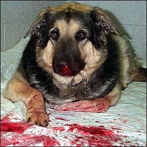dog cut tongue how to stop bleeding
