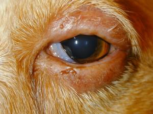 Meibomian Dog Eye Meibomian