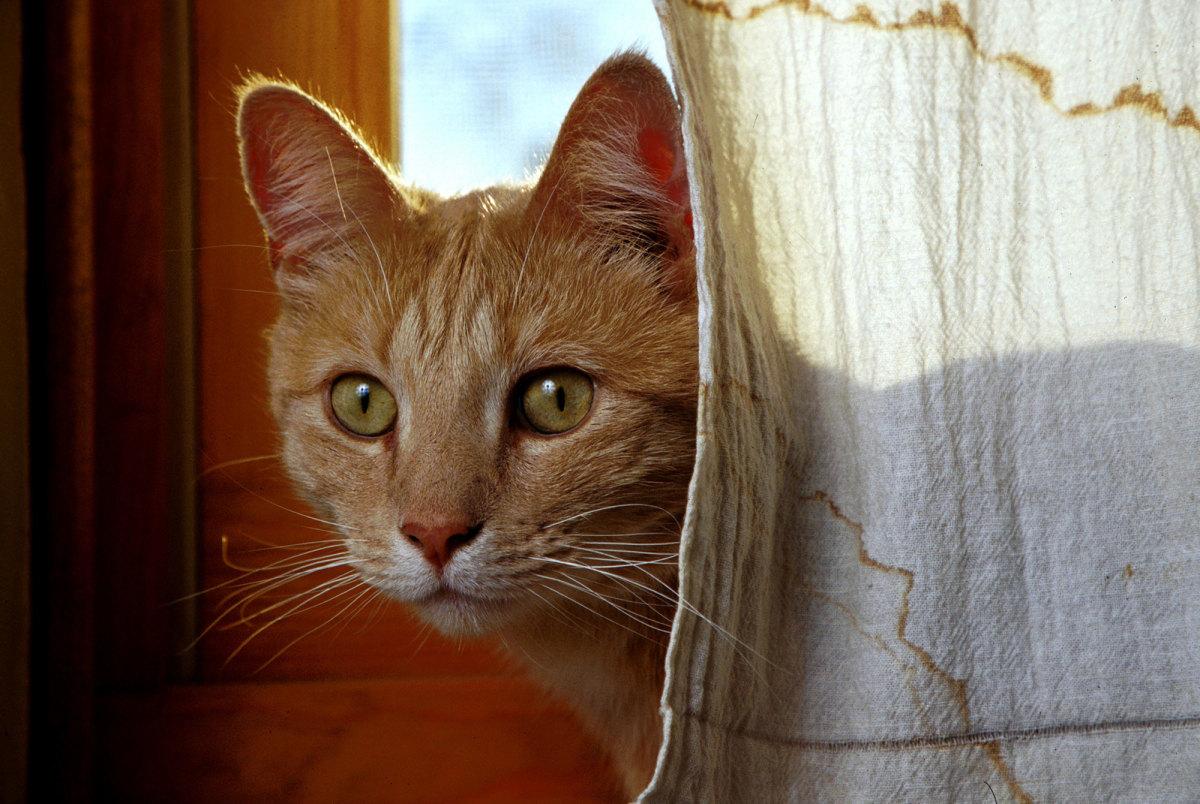 Hemotropic Mycoplasmosis - Bad News For Cat's Blood