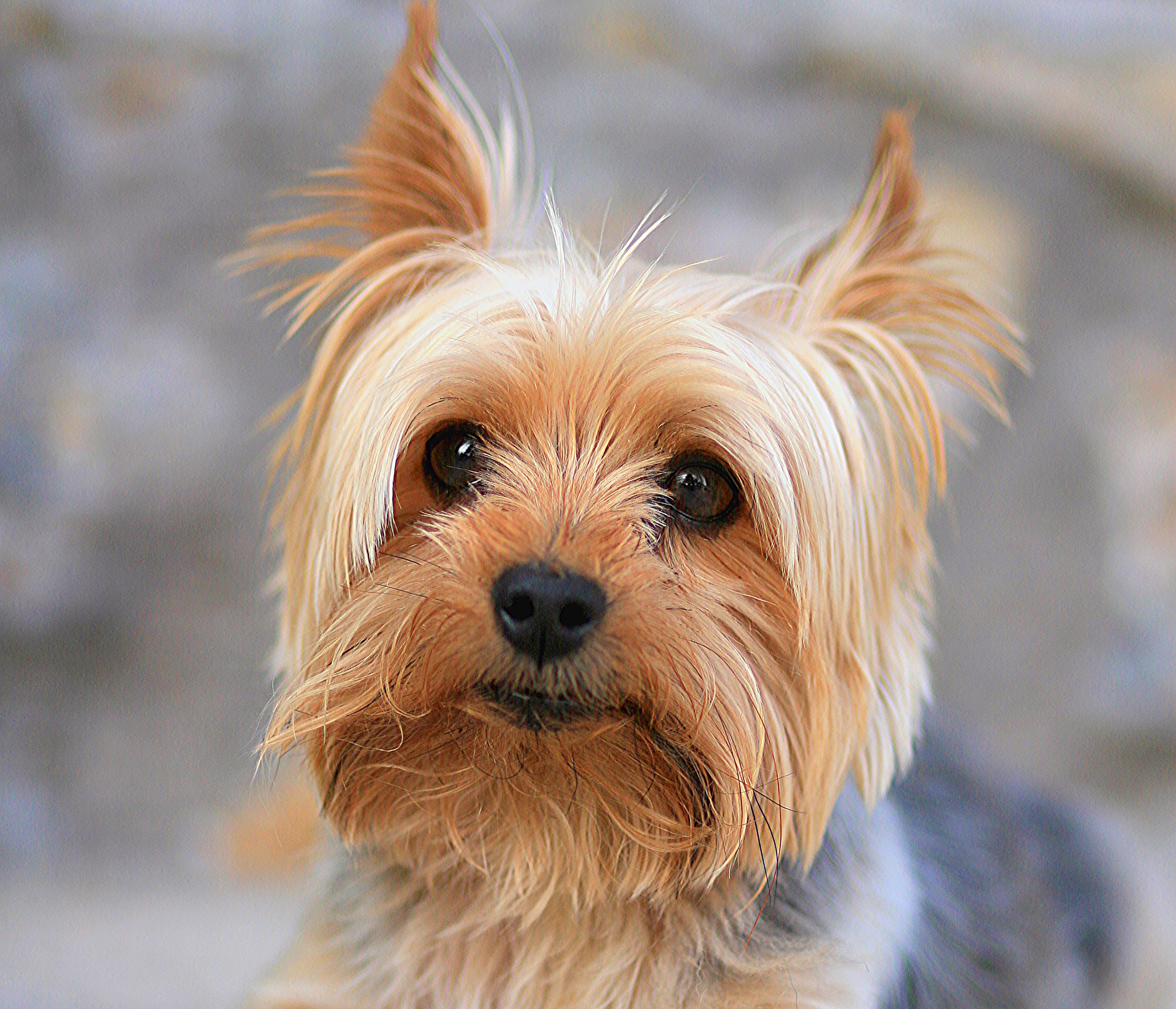 yorkie terrier breeds tracheal collapse in dogs conquering the cough 1195