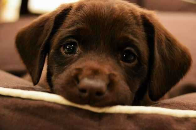 cute-brown-labrador-retriever-puppy-eyes-photo-in-michigan