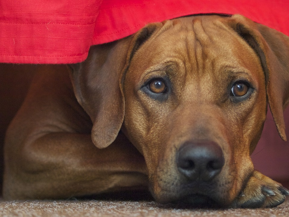 Mast Cell Tumors In Dogs A Common Canine Skin Cancer