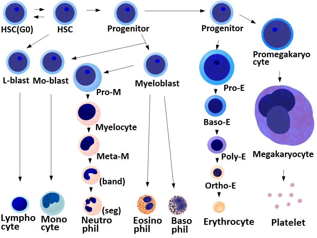 Erythrocytosis Diagram