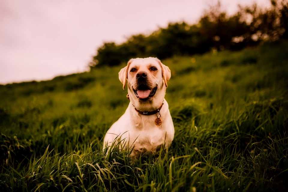 Insulinoma in Dogs - When Too Much of a Good Thing Isn't Good!