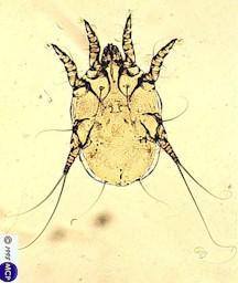 ear mites